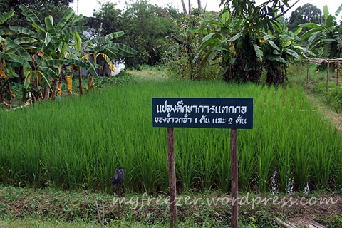 rice-paddy