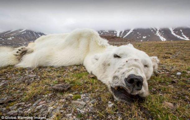 polar bear02